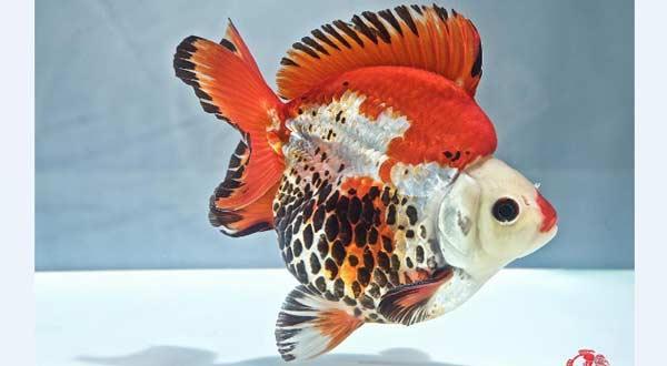 Jenis Ikan Mas Koki Ryukin