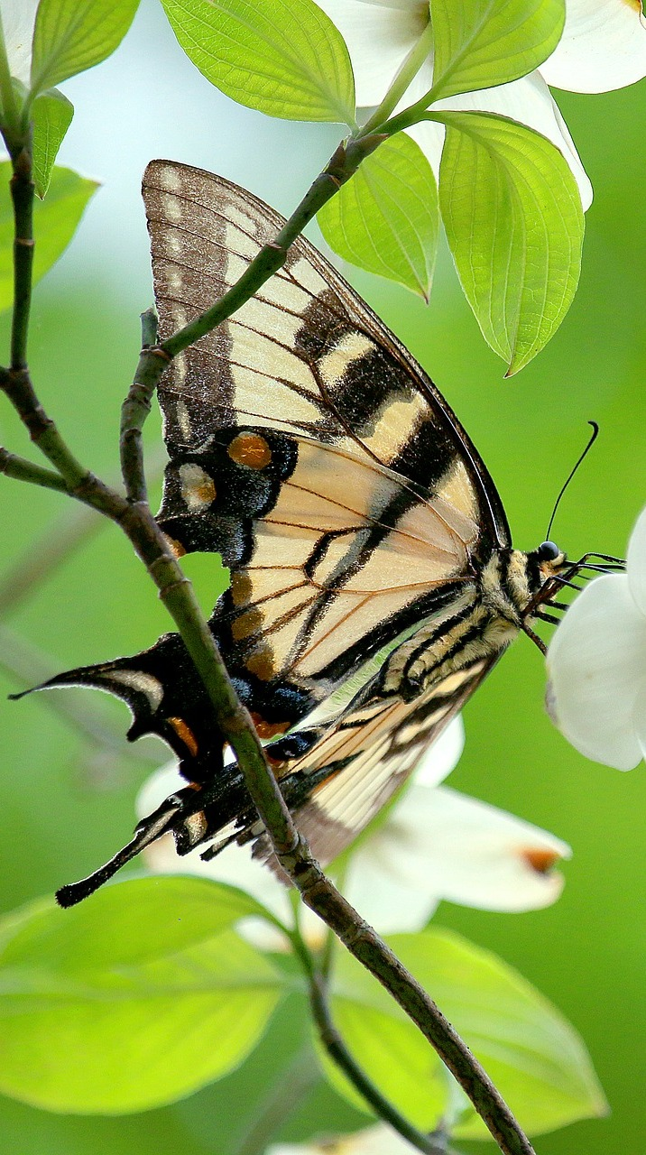 A swallowtail butterfly on a white flower plant.