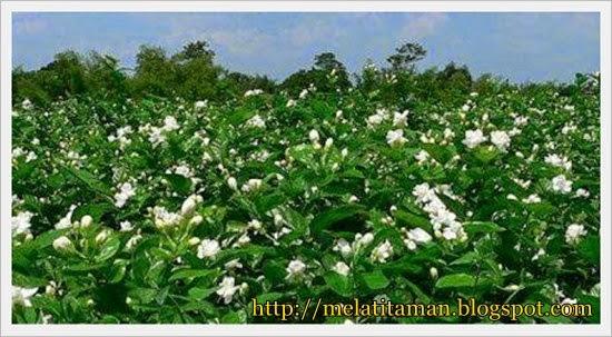 Budidaya Bunga Yang Bermanfaat Budidaya Bunga Melati