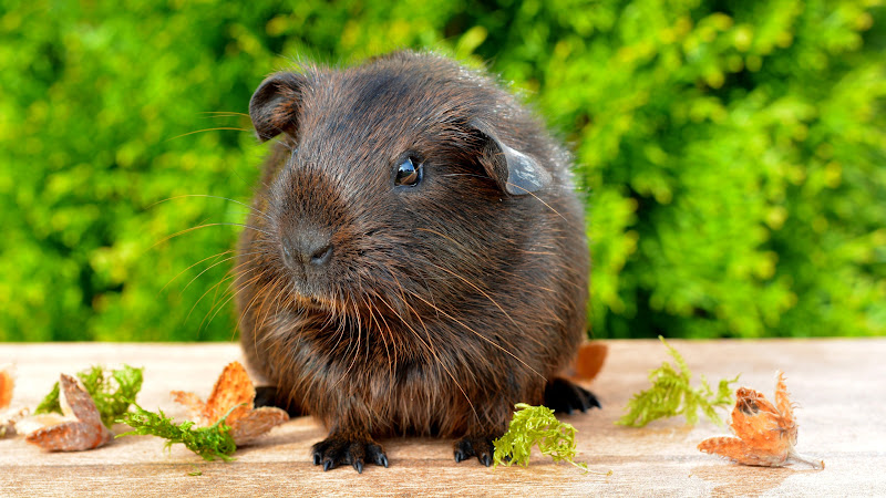 One cute animal: guinea pig HD