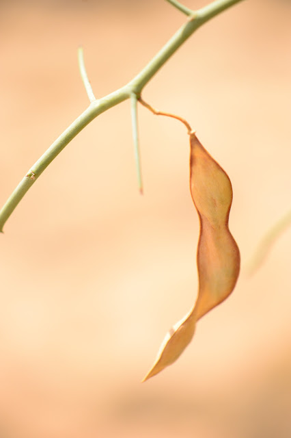 tree watching meme, parkinsonia florida, blue palo verde, desert tree, seedpod