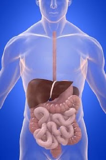 Human body intestines, liver, stomach,