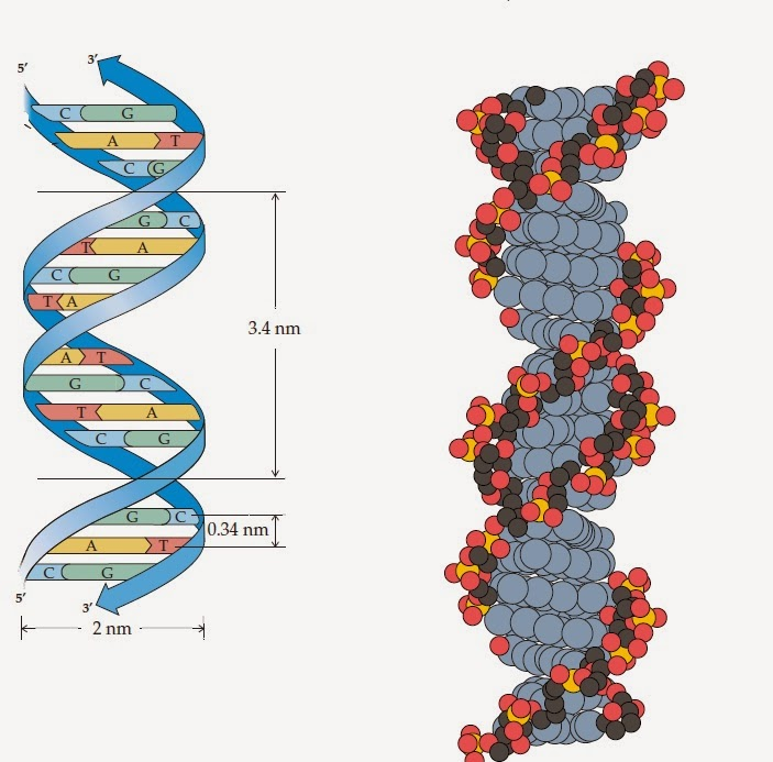 Biology Learnspot  The Structure Of Dna