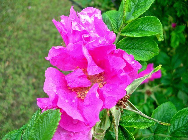 kolce, kwiaty, róża, liście