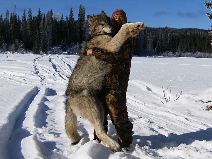 Wolf Traps Human
