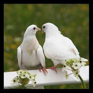 Belajar dari Burung Merpati, Makhluk Tuhan Yang Setia dan Tidak Pernah Menyimpan Dendam