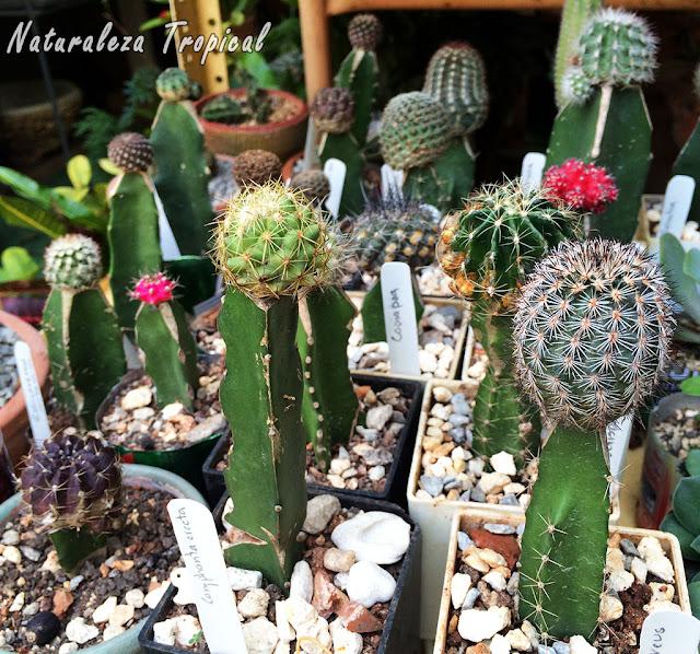 Venta de diferentes cactus injertados