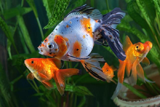 How to Set Up a Goldfish Tank Aquarium Care