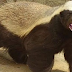 Το πιο επικίνδυνο ζώο στον κόσμο: Σκοτώνει τίγρεις, Λιοντάρια και αρκούδες, Τρέφεται με δηλητηριώδη φίδια!