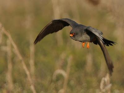 Cernícalo patirrojo (Falco vespertinus)