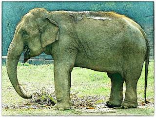 Elefante do Parque Zoológico de Sapucaia