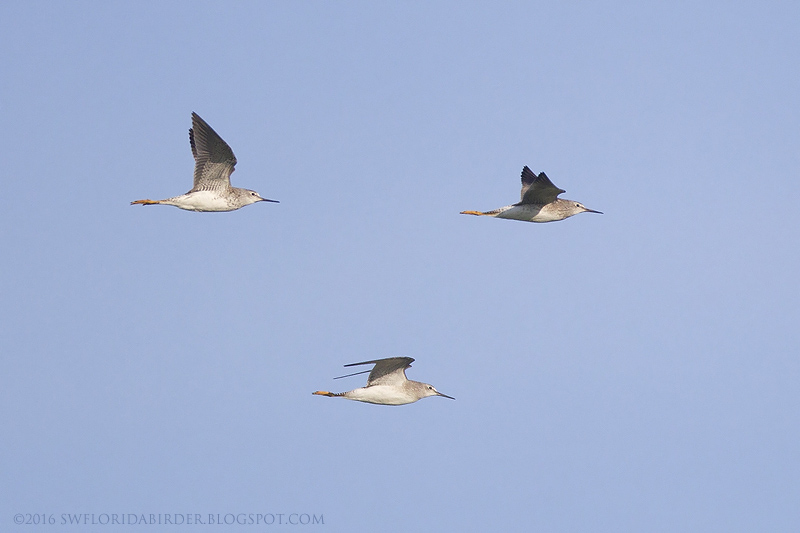 Migrating Upland Sandpiper At EAA