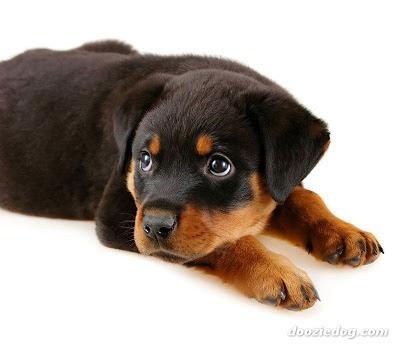 Rottweiler names / dog names