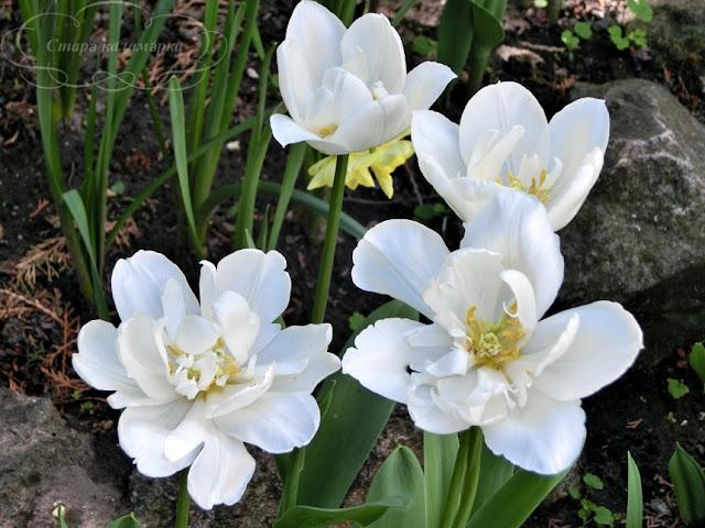 тюльпан Mount Tacoma, тюльпаны, сад, цветник, тюльпаны в саду, сорта тюльпанов, фото тюльпанов