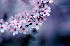 Cherry Blossoms per Jeff Kubina a Flickr
