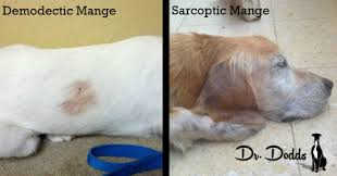 What is Sarcoptic Mange and How is it Different From Demodectic Mange?
