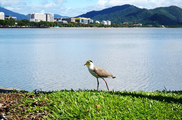 bird, Cairns, Australia, Euriental