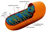 Ultrastruktur Mitokondria
