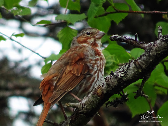 Newfoundland Birds Fox Sparrow