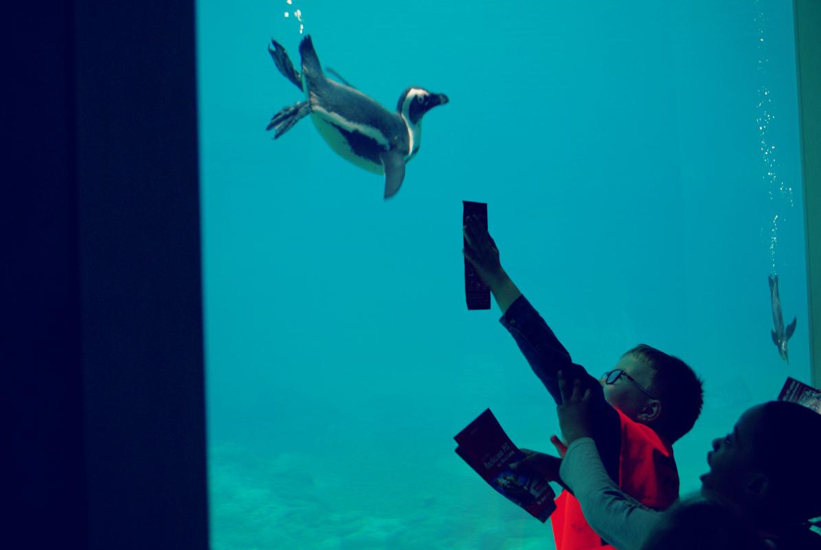 pingwiny tońce