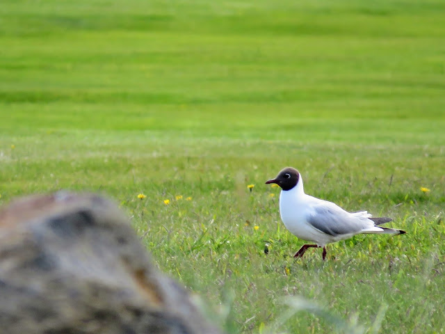 A black-headed gull spotted on a walk through the Seltjarnarnes Peninsula in Reykjavik city