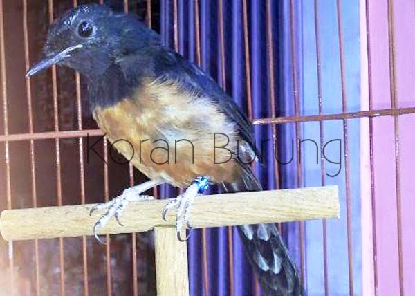 Perawatan Pada Burung Murai Batu Yang Mabung Molting Ngurak