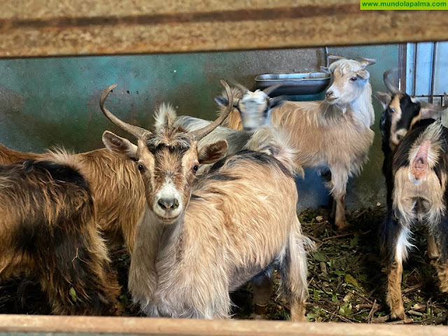 El Cabildo abre el plazo para solicitar las subvenciones del sector caprino y ovino por la Covid-19