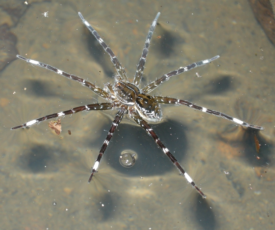 A Birder In The Philippines Fishing Spiders 19th December