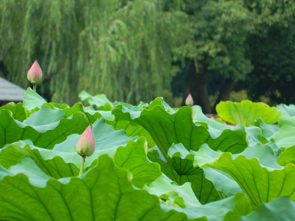 Flower Harbor Park West Lake Hangzhou lotus buds by garden muses-a Toronto gardening blog