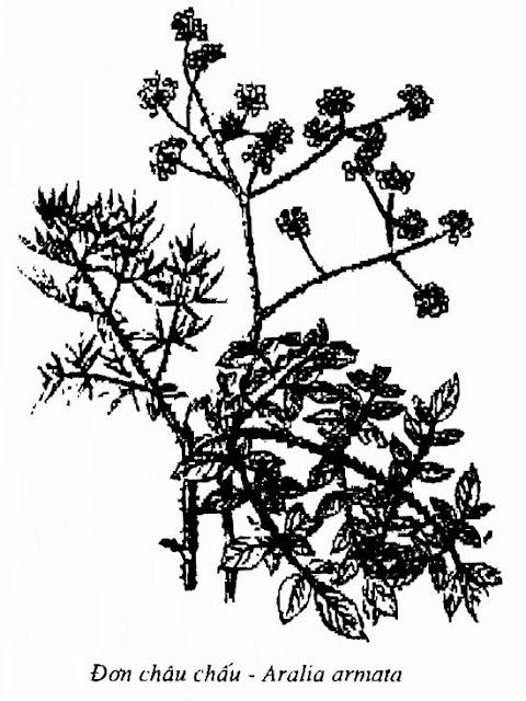 Hình vẽ Đơn Châu Chấu - Aralia armata - Nguyên liệu làm thuốc Chữa bệnh Mắt Tai Răng Họng