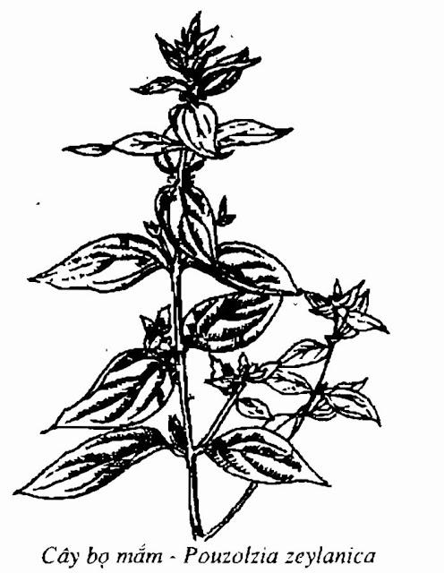 Hình vẽ CÂY BỌ MẮM - Pouzolzia zeylanica - Nguyên liệu làm thuốc Chữa Ho Hen