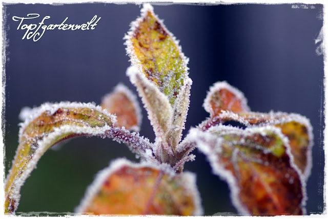 Blätter Apfelbaum mit Raureif