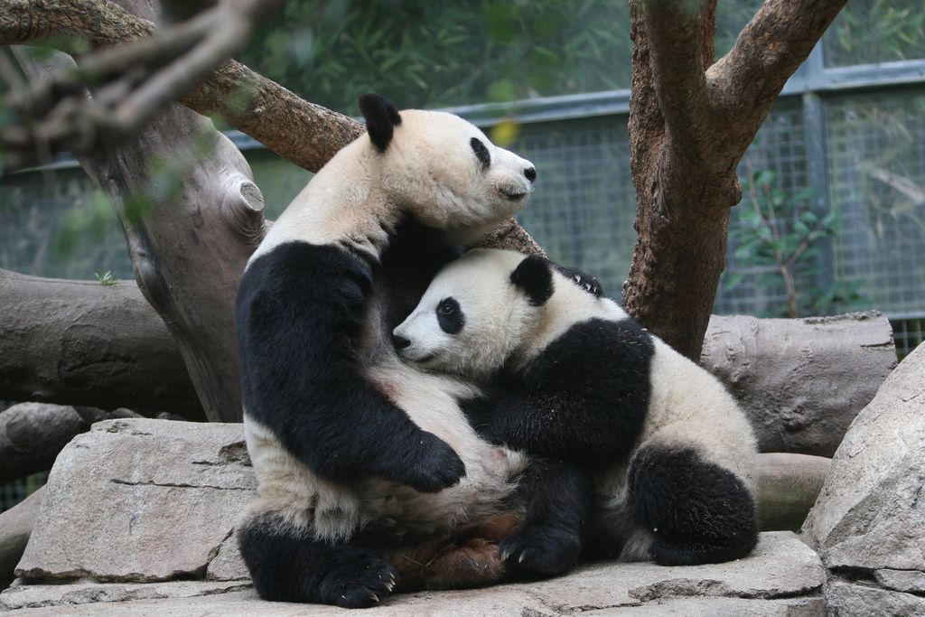 27. Zhen Zhen's last day with her mama Sunday by Karl Drilling