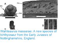 https://sciencythoughts.blogspot.com/2016/06/wahlisaurus-massarae-new-species-of.html