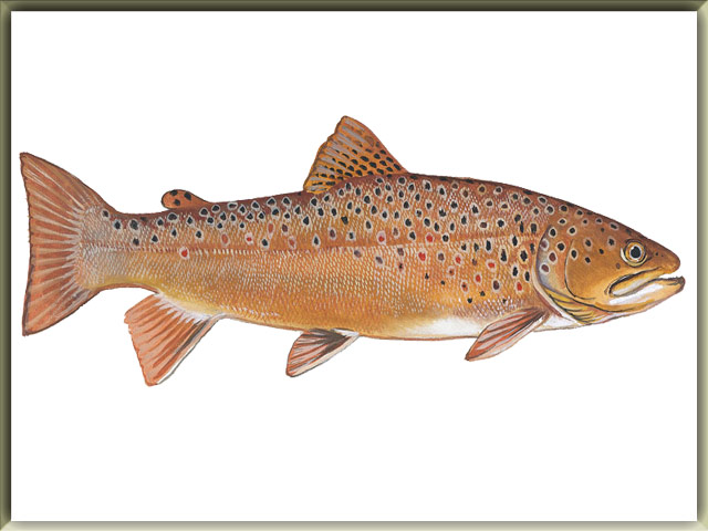List Of Freshwater Fish Beginning With B | List Of Animals A To Z