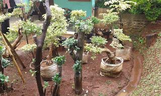 Jual Pohon Bonsai Beringin Korea,Jual Pohon Bonsai Cemara Udang,Jual Pohon Bonsai Anting Putri,Jual Pohon Bonsai Melati Yasmin,Jual Pohon Bonsai Murah,Jual aneka Jenis Pohon Bonsai.