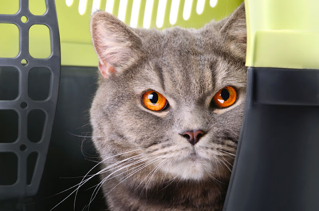 A grey cat looks out of a pet carrier