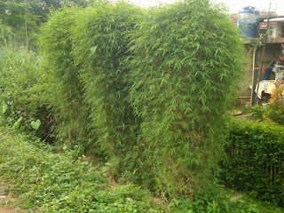 Jual Pohon Bambu Jepang,Jual Jenis Pohon Bambu Hias,Jual Pohon bambu Jepang Murah,Jual Tanamn Untuk Pagar