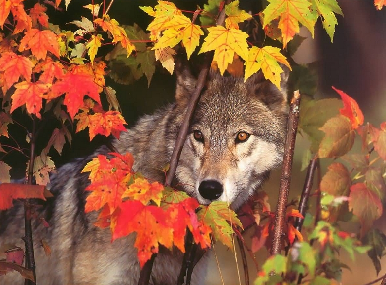 National Geographic Wallpaper Fall Foliage White Wolf Breathtaking Photos Of Wolves In The Woods