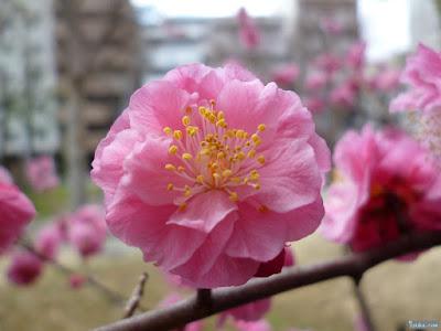 神津神社梅の花