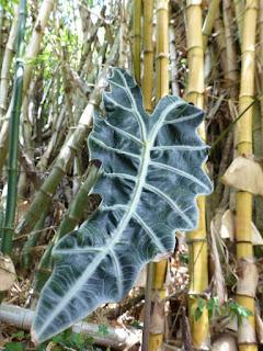 Alocasia non déterminé - Alocasia sp.