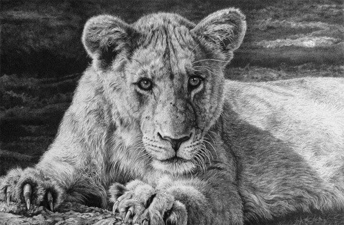 04-Young-Lion-Julie-Rhodes-Wildlife-Animals-Realistic-Pencil-Drawings-www-designstack-co