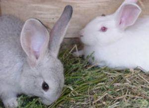 Foto de conejos comiendo representante de la cunicultura