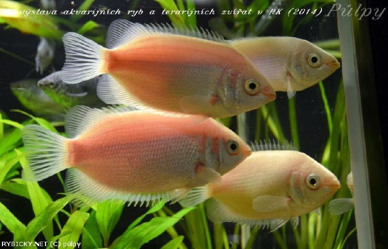 Budidaya Ikan Tambakan Helostoma Temmincki