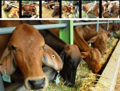 perusahaan peternakan sapi potong perah Banten