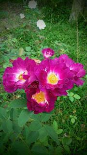 nhân giống cây hoa hồng ngoại