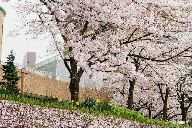 佃公園(中央区)の桜と水仙