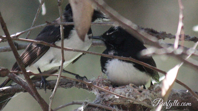 Mr and Mrs Willie Wagtail discussing the finer points of nest building.
