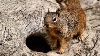 Wallpaper: Squirrel Portrait
