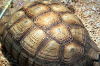 Bir kaplumbağa kabuğu